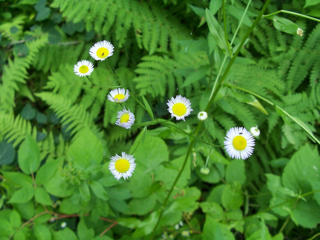 Daisy Fleabane - Nova Scotia Wilds